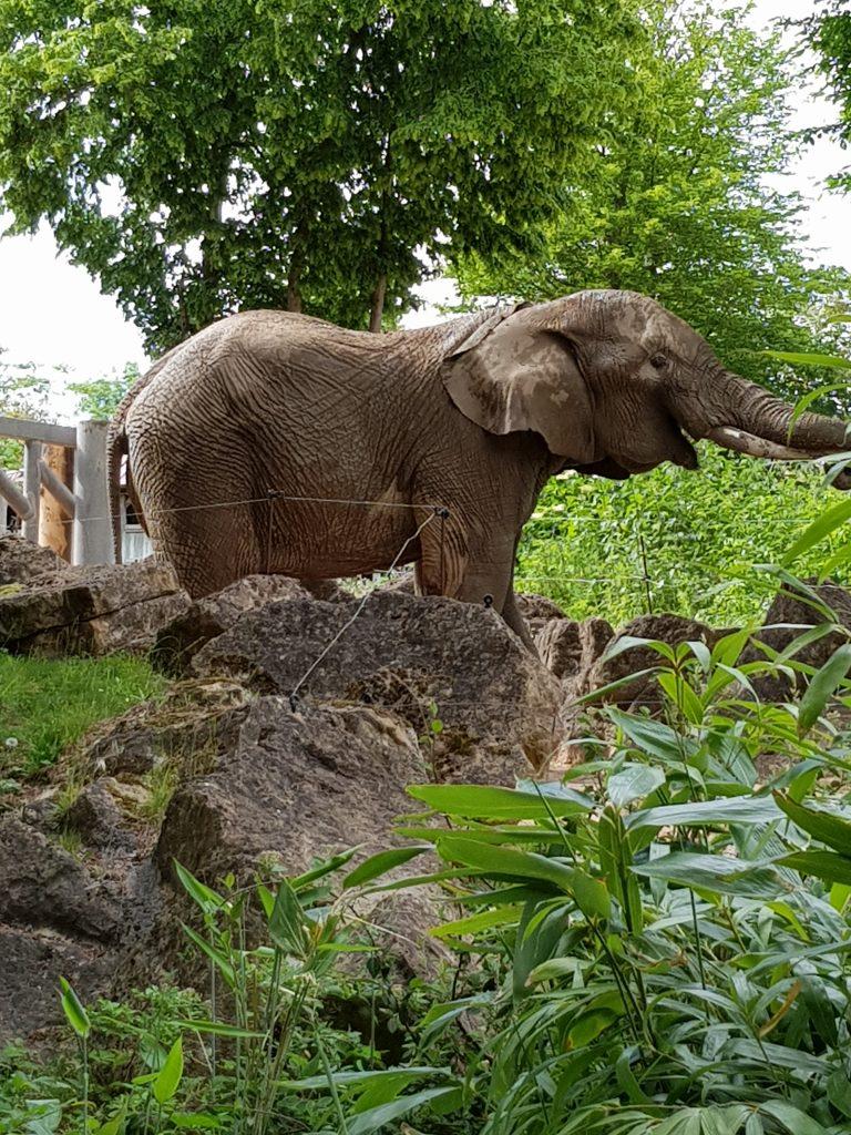 Éléphant au Zoo d'Amnéville